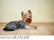 Купить «Portrait of yorkshire terrier lying on floor in room», фото № 28172220, снято 19 января 2016 г. (c) Losevsky Pavel / Фотобанк Лори