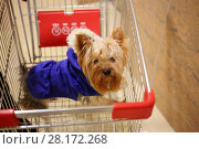 Купить «Yorkshire terrier dog in blue overalls is in cart of supermarket», фото № 28172268, снято 23 января 2016 г. (c) Losevsky Pavel / Фотобанк Лори