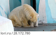 Купить «White baby bear with his mother», видеоролик № 28172780, снято 5 апреля 2016 г. (c) Serg Zastavkin / Фотобанк Лори