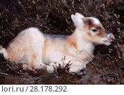 Купить «Reindeer (Rangifer tarandus) week old calf sheltering in heather, reintroduced Cairngorm Reindeer herd, Cairngorm National Park, Speyside, Scotland, May.», фото № 28178292, снято 24 августа 2019 г. (c) Nature Picture Library / Фотобанк Лори
