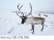 Купить «Reindeer (Rangifer tarandus) reintroduced herd on Cairngorm Mountains, Cairngorm National Park, Speyside, Scotland, December.», фото № 28178300, снято 24 августа 2019 г. (c) Nature Picture Library / Фотобанк Лори