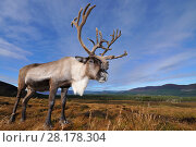 Купить «Reindeer (Rangifer tarandus) bull reindeer with antlers in velvet, reintroduced Cairngorm Reindeer Herd, Cairngorm National Park, Speyside, Scotland, October», фото № 28178304, снято 15 августа 2018 г. (c) Nature Picture Library / Фотобанк Лори