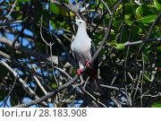 Купить «Spice imperial pigeon (Ducula myristicivora) Raja Ampat, Western Papua, Indonesian New Guinea», фото № 28183908, снято 24 августа 2019 г. (c) Nature Picture Library / Фотобанк Лори