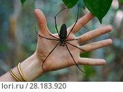 Купить «Golden orb-web spider (Nephila pilipes) on  human hand, Raja Ampat, Western Papua, Indonesian New Guinea», фото № 28183920, снято 14 июля 2020 г. (c) Nature Picture Library / Фотобанк Лори