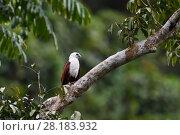 Купить «Brahminy kite (Haliastur indus), Raja Ampat, Western Papua, Indonesian New Guinea», фото № 28183932, снято 16 февраля 2019 г. (c) Nature Picture Library / Фотобанк Лори