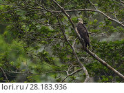 Купить «Young White-bellied sea eagle (Haliaeetus leucogaster), Steaming rainforest in Misool, Gam river, Raja Ampat, Western Papua, Indonesian New Guinea, on...», фото № 28183936, снято 17 декабря 2018 г. (c) Nature Picture Library / Фотобанк Лори
