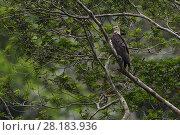 Купить «Young White-bellied sea eagle (Haliaeetus leucogaster), Steaming rainforest in Misool, Gam river, Raja Ampat, Western Papua, Indonesian New Guinea, on...», фото № 28183936, снято 16 февраля 2019 г. (c) Nature Picture Library / Фотобанк Лори