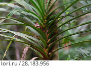 Купить «Climber palm (Araeaceae) lowland rainforest, Aiduma Island, near Triton Bay, Mainland New Guinea, Western Papua, Indonesian New Guinea», фото № 28183956, снято 20 января 2019 г. (c) Nature Picture Library / Фотобанк Лори