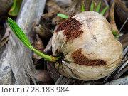 Купить «Coconut palm tree nut germinating (Cocos nucifera) Triton Bay, Mainland New Guinea, Western Papua, Indonesian New Guinea,», фото № 28183984, снято 20 января 2019 г. (c) Nature Picture Library / Фотобанк Лори