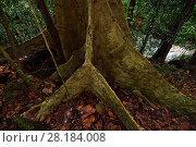 Купить «Rainforest tree with buttress roots, Batenta Island, Raja Ampat, Western Papua, Indonesia», фото № 28184008, снято 22 марта 2019 г. (c) Nature Picture Library / Фотобанк Лори