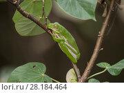 Купить «White-lipped tree frog (Litoria infrafrenata) well camouflaged on a branch, Daintree , Queensland, Australia», фото № 28184464, снято 20 июля 2019 г. (c) Nature Picture Library / Фотобанк Лори