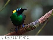 Купить «Wilson's bird-of-paradise (Cicinnurus respublica), Waigeo, Raja Ampat, Western Papua, Indonesian New Guinea», фото № 28184612, снято 18 апреля 2019 г. (c) Nature Picture Library / Фотобанк Лори