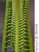 Купить «Cycad palm leaves, Wayag, Raja Ampat, Western Papua, Indonesian New Guinea.», фото № 28184616, снято 24 августа 2019 г. (c) Nature Picture Library / Фотобанк Лори