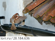 Купить «House sparrow (Passer domesticus) male flying to its nest site under old roof tiles on a cottage carrying nest material in its beak, Wiltshire, UK, June.», фото № 28184636, снято 23 марта 2018 г. (c) Nature Picture Library / Фотобанк Лори