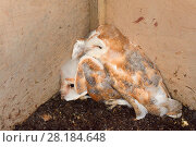 Купить «Barn owl (Tyto alba), two mature chicks found in a nest box in an old barn during a licensed nest box survey, Suffolk, UK, July.», фото № 28184648, снято 25 сентября 2018 г. (c) Nature Picture Library / Фотобанк Лори