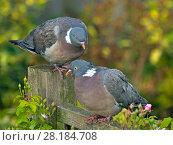 Купить «Wood pigeons (Columba palumbus) male and female during courtship preening display, Norfolk, England, UK, August.», фото № 28184708, снято 19 августа 2018 г. (c) Nature Picture Library / Фотобанк Лори
