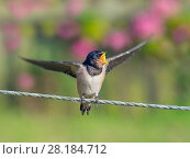 Купить «Swallow (Hirundo rustica) fledgling on fence waiting to be fed, Norfolk, England, UK. September.», фото № 28184712, снято 16 августа 2018 г. (c) Nature Picture Library / Фотобанк Лори