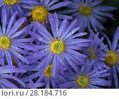 Купить «Michaelmas daisy (Aster amellus) flowers in garden.», фото № 28184716, снято 21 сентября 2018 г. (c) Nature Picture Library / Фотобанк Лори