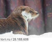 Купить «Выдра», фото № 28188608, снято 6 марта 2015 г. (c) Галина Савина / Фотобанк Лори