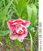 Купить «Тюльпан», эксклюзивное фото № 28189360, снято 20 мая 2017 г. (c) stargal / Фотобанк Лори