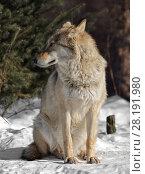 Купить «Eurasian wolf (Canis lupus lupus) sits on snow in cold winter», фото № 28191980, снято 18 марта 2018 г. (c) Валерия Попова / Фотобанк Лори