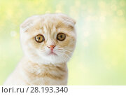 Купить «close up of scottish fold kitten», фото № 28193340, снято 19 июля 2015 г. (c) Syda Productions / Фотобанк Лори