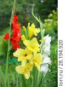 Купить «Гладиолусы красны, желтый и белый», фото № 28194920, снято 6 августа 2016 г. (c) Ирина Носова / Фотобанк Лори