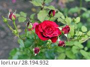 Купить «Красная роза в саду», фото № 28194932, снято 22 июля 2017 г. (c) Ирина Носова / Фотобанк Лори