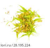 Купить «Свежесорванные цветки липы (Linden), изолированные на белом фоне», фото № 28195224, снято 19 июля 2017 г. (c) Алёшина Оксана / Фотобанк Лори