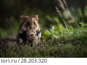 Купить «European hamster (Cricetus cricetus), mother carrying baby  in grass, captive.», фото № 28203320, снято 22 мая 2018 г. (c) Nature Picture Library / Фотобанк Лори