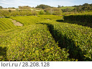 Купить «Tea plantations on the slopes of the hills, the island of Sao Miguel, Azores», фото № 28208128, снято 6 мая 2012 г. (c) Юлия Бабкина / Фотобанк Лори