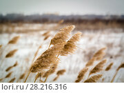 Dried grass on snow background. Стоковое фото, фотограф Вячеслав / Фотобанк Лори