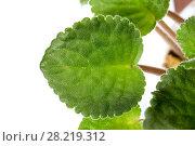 Купить «Зеленые листья герани крупным планом на белом фоне», фото № 28219312, снято 13 февраля 2016 г. (c) Евгений Ткачёв / Фотобанк Лори