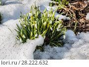 Купить «Первоцветы. Белоснежный подснежник на проталине в лесу (Galanthus nivalis)», фото № 28222632, снято 25 марта 2018 г. (c) Наталья Волкова / Фотобанк Лори