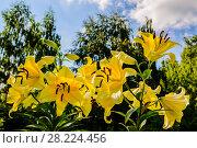 Купить «Цветы желтой лилии в лучах летнего солнца на фоне берез. Подмосковье», фото № 28224456, снято 12 августа 2017 г. (c) Устенко Владимир Александрович / Фотобанк Лори