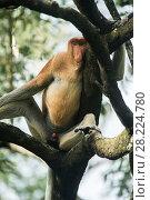 Купить «Proboscis monkey (Nasalis larvatus) male, Tarakan, Indonesia», фото № 28224780, снято 18 ноября 2018 г. (c) Nature Picture Library / Фотобанк Лори