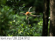 Купить «Proboscis monkey (Nasalis larvatus) jumping, Tarakan, Indonesia», фото № 28224912, снято 14 августа 2018 г. (c) Nature Picture Library / Фотобанк Лори
