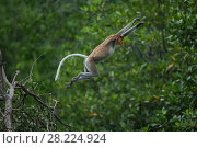 Купить «Proboscis monkey (Nasalis larvatus) jumping, Balikpapan, Indonesia», фото № 28224924, снято 14 августа 2018 г. (c) Nature Picture Library / Фотобанк Лори