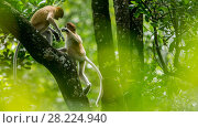 Купить «Proboscis monkey (Nasalis larvatus) juveniles playing, Tarakan, Indonesia», фото № 28224940, снято 14 августа 2018 г. (c) Nature Picture Library / Фотобанк Лори