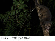 Купить «Olinguito (Bassaricyon neblina) at night, Mindo Cloud Forest, Ecuador.», фото № 28224968, снято 22 октября 2018 г. (c) Nature Picture Library / Фотобанк Лори