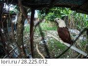 Купить «Brahminy kite (Haliastur indus) kept as a pet, East Kalimantan, Indonesia», фото № 28225012, снято 19 июля 2019 г. (c) Nature Picture Library / Фотобанк Лори