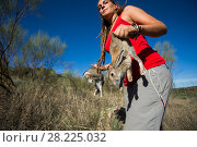 Купить «Rabbits are introduced into a soft release pen for Iberian lynx (Lynx pardinus) Extremadura, Spain October.», фото № 28225032, снято 19 сентября 2018 г. (c) Nature Picture Library / Фотобанк Лори