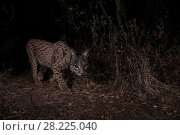 Купить «Iberian lynx (Lynx pardinus) young female taken with camera trap as she makes her way through the shrubbery. Sierra Morena, Spain.», фото № 28225040, снято 19 сентября 2018 г. (c) Nature Picture Library / Фотобанк Лори
