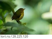 Купить «Ochre breasted antpitta (Grallaricula flavirostris) Mindo Cloud Forest, Ecuador;», фото № 28225120, снято 24 мая 2018 г. (c) Nature Picture Library / Фотобанк Лори