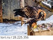 Купить «Беркут, или золотой орел, сидит на остатках курицы. Московский зоопарк», фото № 28225356, снято 25 января 2018 г. (c) Устенко Владимир Александрович / Фотобанк Лори