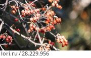 Купить «Crataegus prunifolia (Broad-leaved Cockspur Thorn)», видеоролик № 28229956, снято 23 февраля 2018 г. (c) BestPhotoStudio / Фотобанк Лори
