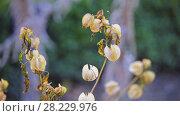 Купить «Nicandra physalodes (shoo-fly plant)», видеоролик № 28229976, снято 2 марта 2018 г. (c) BestPhotoStudio / Фотобанк Лори