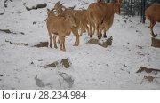Купить «Barbary sheep (Ammotragus lervia)», видеоролик № 28234984, снято 28 декабря 2017 г. (c) BestPhotoStudio / Фотобанк Лори