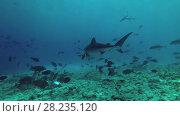 Купить «Tiger Shark picks up the remains of tuna and other fishery wastes thrown into the ocean», видеоролик № 28235120, снято 27 марта 2018 г. (c) Некрасов Андрей / Фотобанк Лори