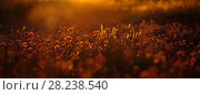 Купить «Vanilla grass (Hierochloe odorata)  and Wild chives (Allium schoenoprasum) at sunset, Oland, Sweden, June.», фото № 28238540, снято 25 апреля 2018 г. (c) Nature Picture Library / Фотобанк Лори